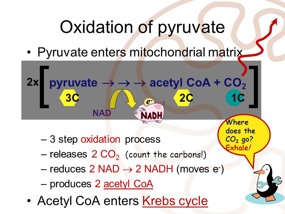 [ ] Oxidation of pyruvate Pyruvate enters mitochondrial matrix